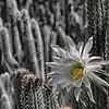 billseye - Cactus Flower