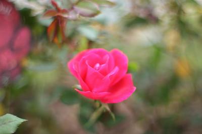hurricanesteve - Knockout Rose in Winter
