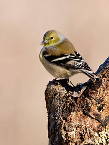 KurtPreston - Goldfinch in Winter Plummage  (Posted in Wildlife Forum (http://www.dgrin.com/showthread.php?t=115838)