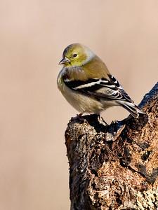 KurtPreston - Goldfinch in Winter Plummage  (Posted in Wildlife Forum (http://www.dgrin.com/showthread.php?t=115838)
