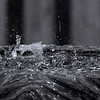 SciurusNiger - Rain meets birdbath