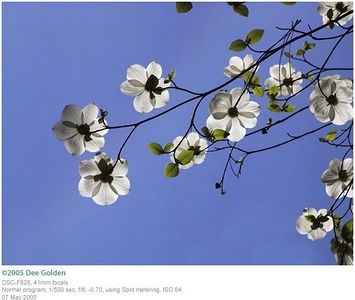 Dee Golden -- Dogwood blossoms