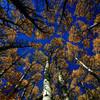 grimace - Fall Aspen