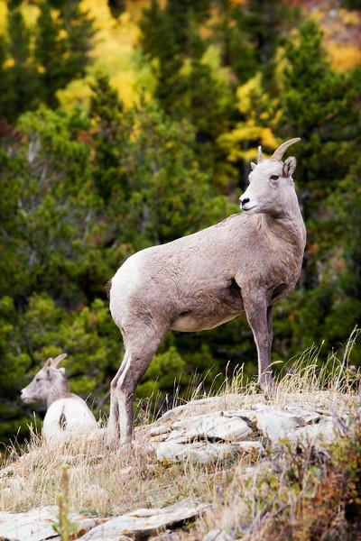 lynnesite - Young bighorn male