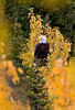 Jack (CalfeeRider) - Bald Eagle in Autumn Colors