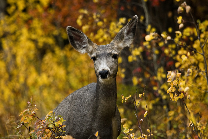 Terrence - Mule deer fawn in the woods