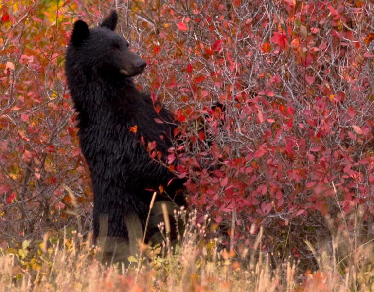 """Fred W - """"What a bear does in the woods"""""""