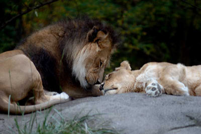 Lions by Lyric Photo