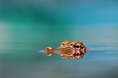 Spiny Softshell Turtle By lr1811