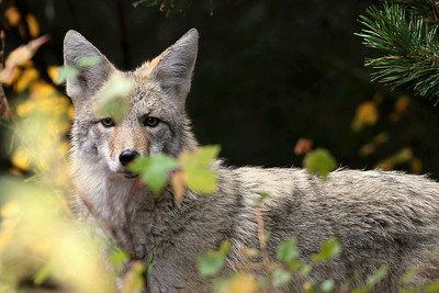 Coyote, taken by davev (Dave Vichich)