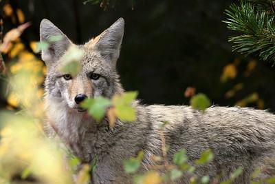 Coyote, taken by davev (Dave Vichich)