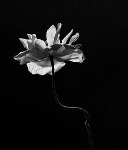 Islandic poppy, taken by alpinelane (JillG)