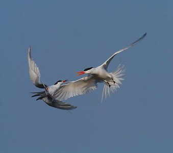 Dancing tern tern by jwear