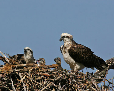 The 2006 Osprey family by Mushy