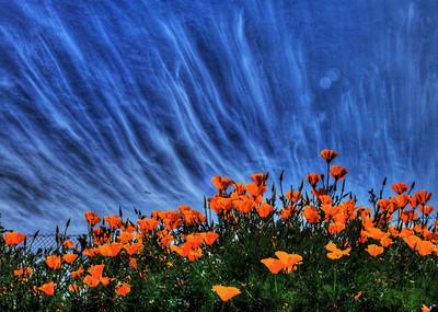 poppies crop