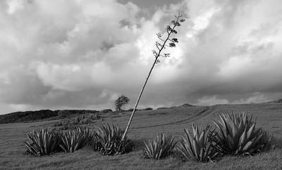 May pole cactus