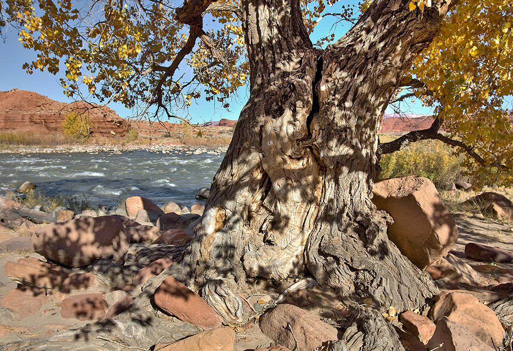 bristlecone (oldbristlecone@comcast.net) wrote about this photo on Sep 3rd Title: Fremont Cottonwood - Colorado River - Utah