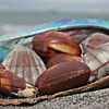 #68 Chocolate - mollusca chocolata (28)