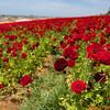 Red RAnunculus flowers