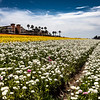 Flower fields of Ranunculus