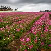 Flower fields of Ranunculus