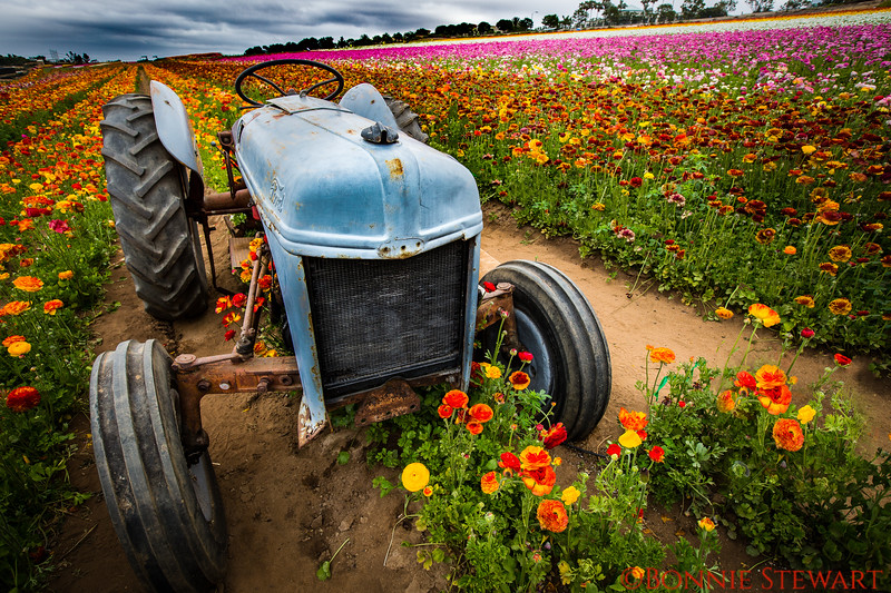 Tractor in the Flower Fields