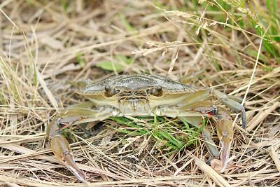 Blue-claw Crab