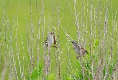 Salt Marsh and Seaside Sparrow