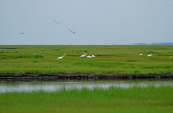 Lotsa egrets