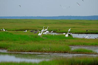 Egrets, gulls, herons