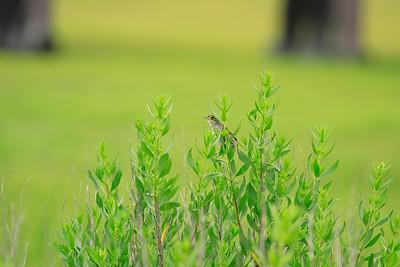 Salt Marsh Sparrow