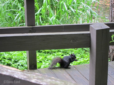 Black squirrel in Stanley Park.