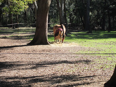 first horse born on Daufuskie Island in 50 years