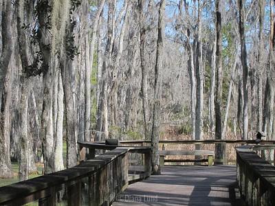 start of swamp walk within Magnolia Plantation