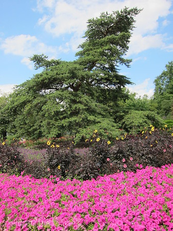 Cantigny tree and flowers