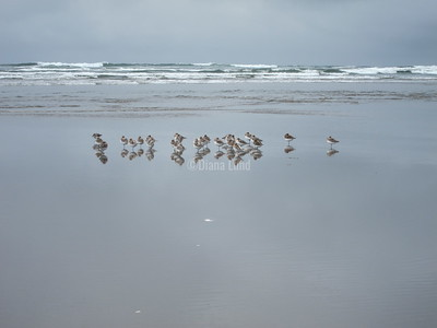 Snowy Plovers on our beach