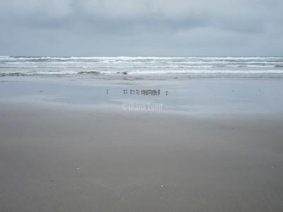 Snowy Plovers on our beach IMG_4711.JPG