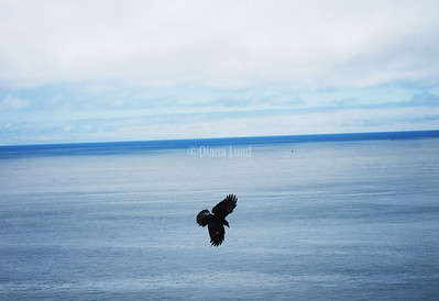 raven at cape disappointment