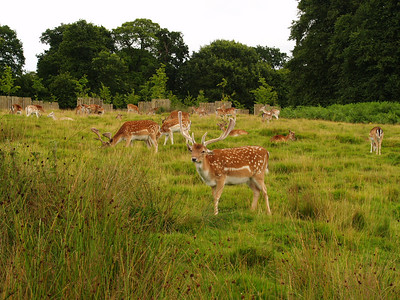19th July 2009 - Dunham Massey a National Trust property in Cheshire. It has a lovely deer park. We couldn't believe how people-friendly they were