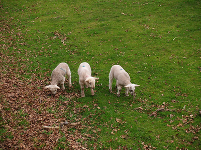 12th April 2009. Kedlestone Hall in Derbyshire  Ahhh..some nice cuddly lambs in the back meadow