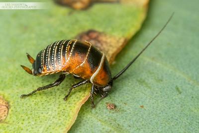 Native Roach
