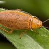 Aussie Roach