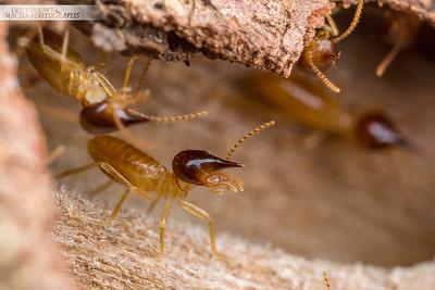 Nasute Termite
