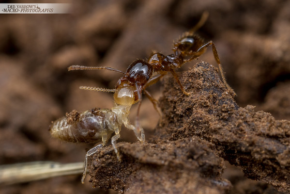 Pheidole Minor
