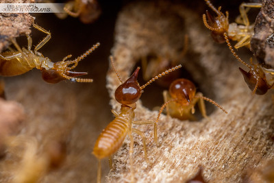 Nasute Termites