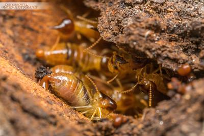 Termite Builders