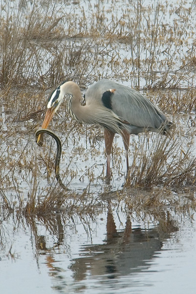 I was at St. Mark's National Wildlife Refuge in Florida when I saw this Great Blue Heron catch a snake.  It grabbed the snake by the head and proceeded to shake it around.