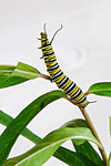 The caterpillar can raise part of its body up to reach another leaf or to go from one part of the plant to another part.  Also note that it has appendages at both ends of its body.  That could help confuse a predator.