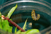 Right before the caterpillar changes to a chrysalis, it stops eating and hangs quietly in a J-shape.