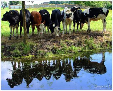 Jonge koeien, 't Woudt